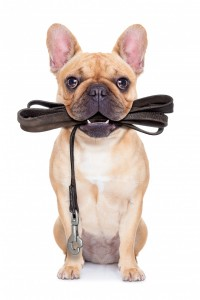 french bulldog with leash in his mouth