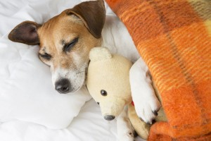 Jack Russell hugging teddy bear